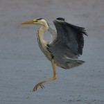 Grey Heron Lossie estuary 3 July 2014 David Main