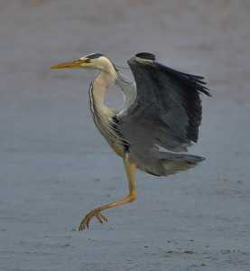 Grey Heron, Lossie estuary 3 July 2014 (David Main)