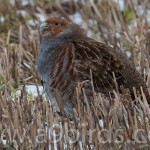 Grey Partridge Coltfield 15 Feb 2015 Mike Crutch P