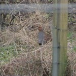 Grey Partridge Coltfield 5 Mar 2016 Thomas Main