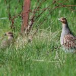 Grey Partridge Lossiemouth airfield 14 May 2018 Allan Lawrence