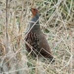 Grey Partridge Netherton 10 March 2013 Gordon Biggs 2