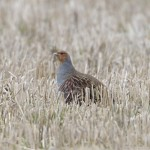 Grey Partridge Netherton 5 March 2013 Richard Somers Cocks