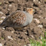 Grey Partridge, Netherton 7 May 2015 (Mike Crutch)