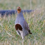 Grey Partridge North Alves 25 March 2013 Tony Backx