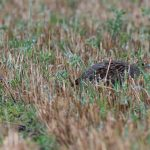 Grey Partridge Roseisle maltings 13 Sep 2016 David Main P