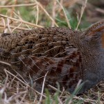 Grey Partridge Roseisle maltings 16 Feb 2016 David Main P