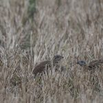 Grey Partridge Roseisle maltings 29 Sep 2016 David Main 2