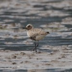 Grey Plover Findhorn Bay 14 Jul 2016 Richard Somers Cocks 1
