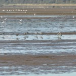 Grey Plover Findhorn Bay 4 Oct 2015 Gordon McMullins