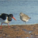 Grey Plover Lossie estuary 10 Feb 2015 Hugh Clark