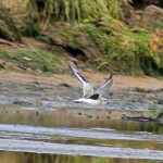 Grey Plover Lossie estuary 13 Oct 2013 Gordon Biggs
