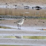 Grey Plover Lossie estuary 13 Oct 2013 Gordon Biggs 2
