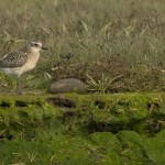 Grey Plover Lossie estuary 2 Oct 2014 David Main