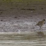 Grey Plover Lossie estuary 22 Sep 2017 David Main