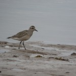 Grey Plover Lossie estuary 22 Sept 2014 Duncan Gibson