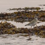 Grey Plover Lossie estuary 26 Sep 2017 David Main