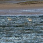 Grey Plover Lossie estuary 30 Sep 2016 Tony Backx