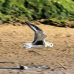 Grey Plover Lossie estuary 30 Sept 2014 Gordon Biggs 2