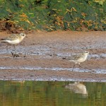 Grey Plover Lossie estuary 6 Oct 2014 Gordon Biggs