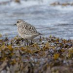 Grey Plover Lossiemouth 29 Sep 2016 David Main P
