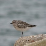 Grey Plover Lossiemouth 8 Mar 2015 Duncan Gibson