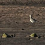 Grey Plover Spey estuary 3 March 2017 Martin Cook