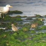 Grey Plover and Bar tailed Godwit 7 Aug 2015 Martin Cook