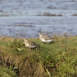 Grey Plovers Findhorn Bay 29 Sept 2014 Richard Somers Cocks 1
