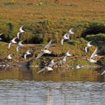Grey Plovers Lossie estuary 10 Oct 2014 Gordon Biggs