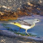 Grey Wagtail Burghead 23 May 2017 Gordon Biggs 1
