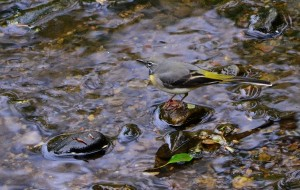 Grey Wagtail, Cullen 14 May 2014 (Lenny Simpson)