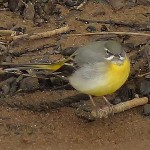 Grey Wagtail Elgin 31 Mar 2016 Jack Harrison