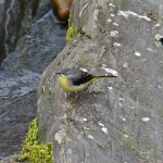 Grey Wagtail Glenlivet 11 Apr 2013 Tony Backx 2