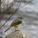 Grey Wagtail Knockando 11 Mar 2017 Neil Sutherland Carol Armour