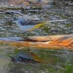 Grey Wagtail Loch Spynie 25 Aug 2014 Gordon Biggs