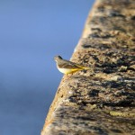 Grey Wagtail Lossiemouth 4 Jan 2015 Gordon Biggs 3