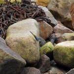Grey Wagtail Lossiemouth 7 Jan 2015 Gordon Biggs 3