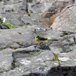 Grey Wagtail Randolphs Leap 19 May 2015 Gordon Biggs