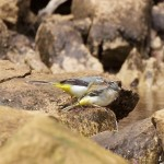 Grey Wagtail, Sluie 13 Jul 2016 (Richard Somers Cocks)