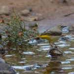 Grey Wagtail Torrieston 20 Apr 2017 David MainP