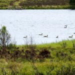 Greylag Geese Black Loch Dava 2 June 2014 Alison Ritchie