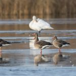 Greylag Geese, Loch Spynie 25 Nov 2016 (David Main)