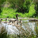 Greylag Goose family Aitnoch 26 May 2017 Alison Ritchie P
