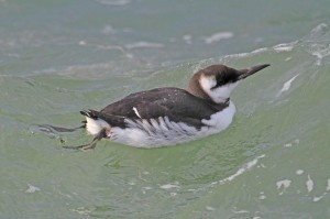 Guillemot, Burghead harbour 3 Feb 2014 (Gordon Biggs)