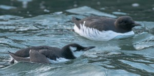 Guillemots, Burghead harbour 6 Feb 2014 (David Main)