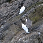 Guillemots ashore on Bow Fiddle Rock 1 June 2013 Lenny Simpson