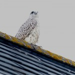 Gyr Falcon Spey Bay 28 Jul 2015 Sue Pianta Scott PS