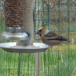 Hawfinch Galcantray 28 Apr 2016 Margaret Somerville 4