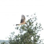 Hen Harrier Darkland 3 Oct 2016 David Law 2